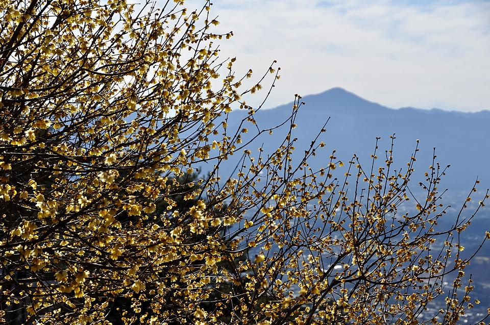 武甲山と臘梅