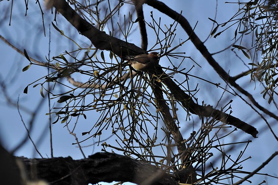 ヤドリギの実を啄ばんでいるヒレンジャク