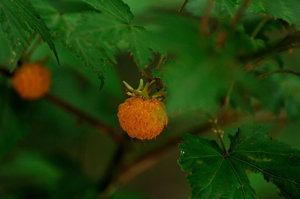 モミジイチゴ