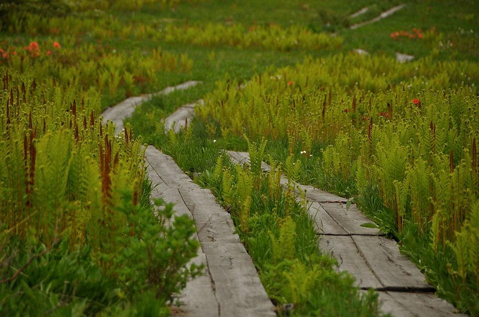 ヤマドリゼンマイとヨッピ橋へ続く木道