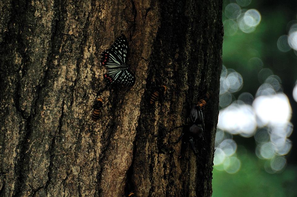 アカボシゴマダラ、カブトムシ、スズメバチ