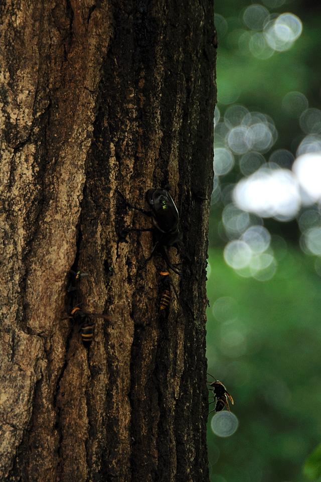 カブトムシとスズメバチの睨み合い