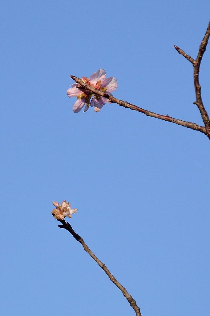 狂い咲きの桜