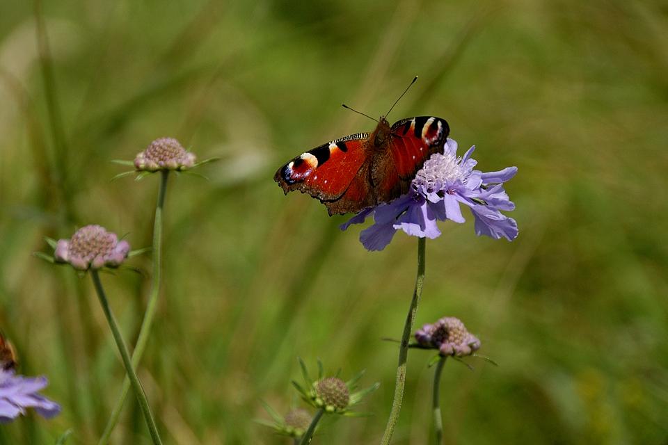 マツムシソウ(マツムシソウ科)の蜜を吸う孔雀蝶