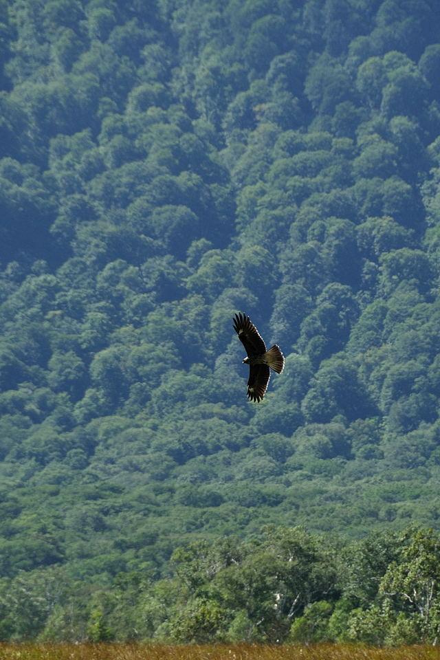 羽を広げて旋回する鳶