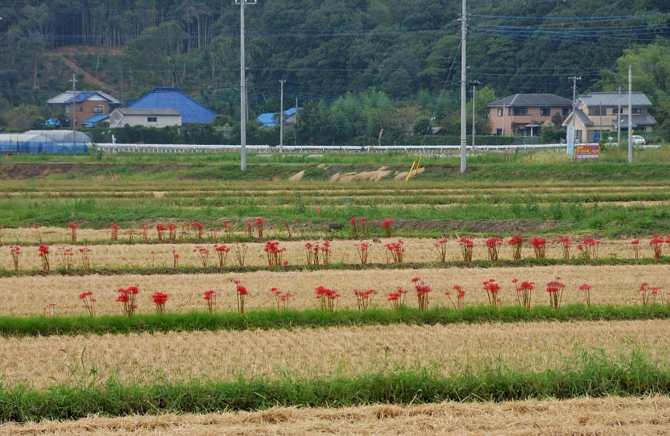 畦道に咲く彼岸花(ヒガンバナ科)