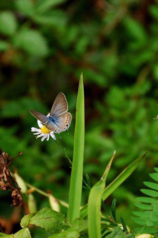 シジミ蝶の仲間