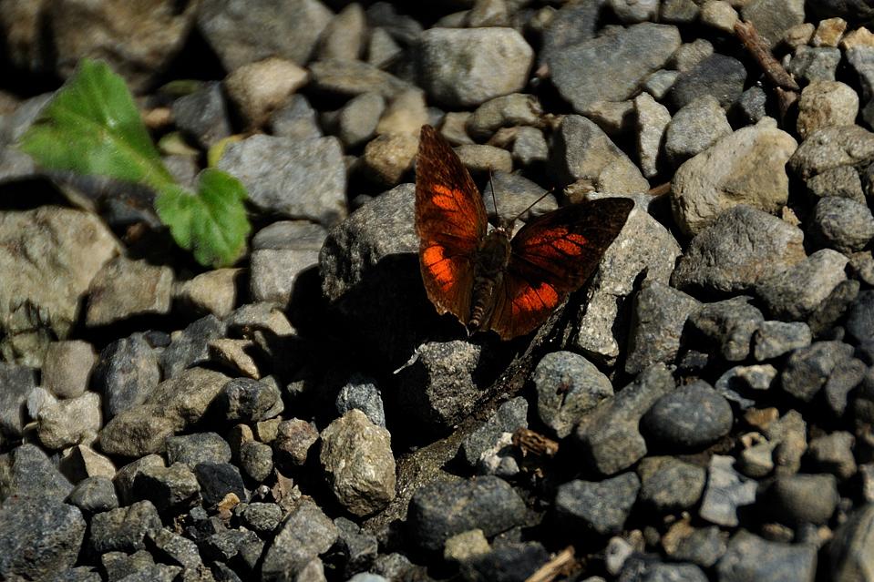 蝶(シジミ蝶の種類?)