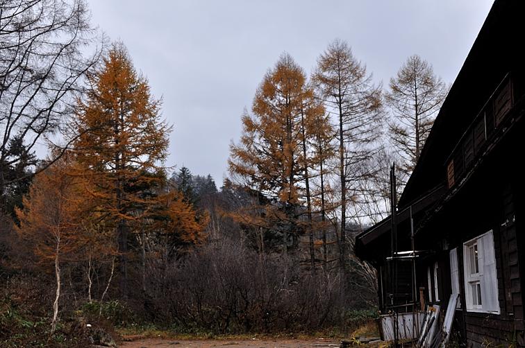 長蔵小屋前のカラマツ