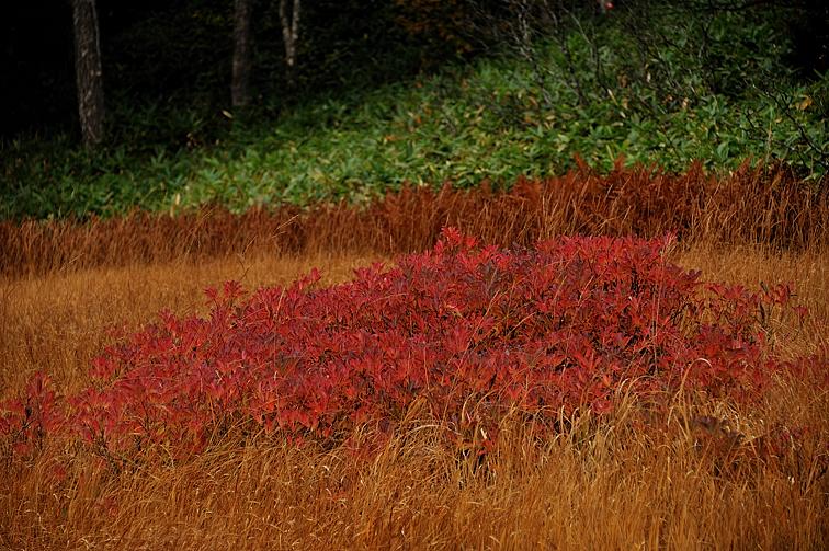 大江湿原の紅葉