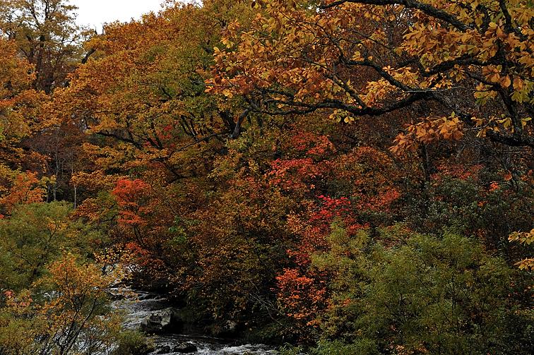 東電尾瀬橋から見た、只見川沿いの紅葉
