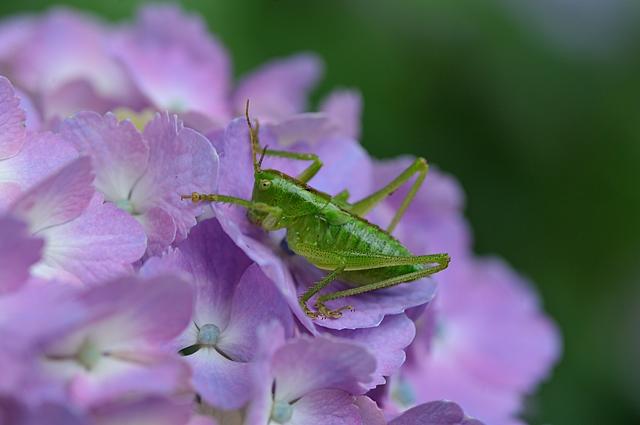 ヤブキリ(幼虫)