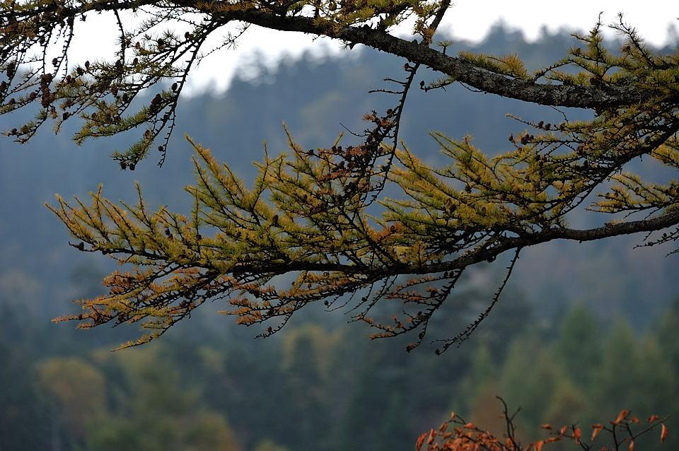 三本カラマツは黄葉を始めています
