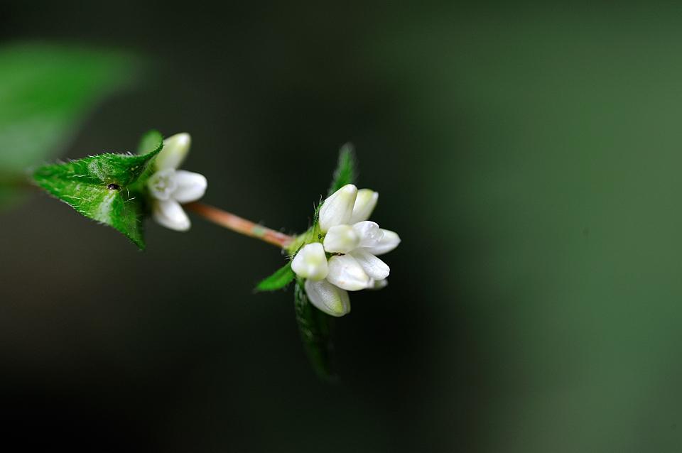 アキノウナギツカミ・白花(タデ科)