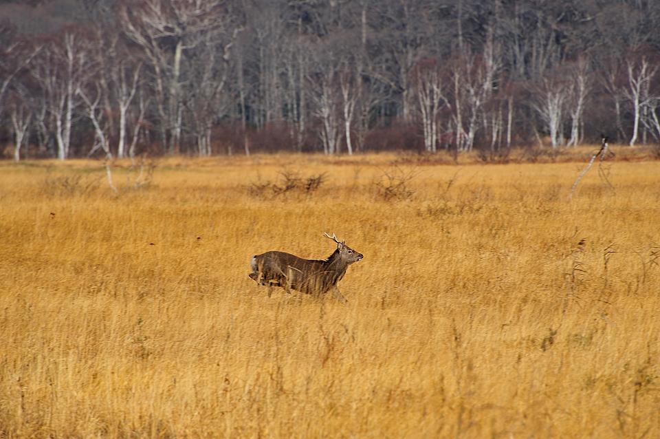 木道を横切った鹿