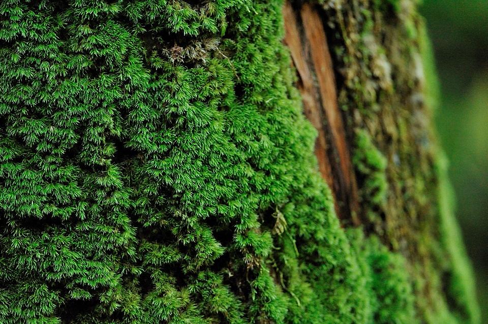日影林道の苔