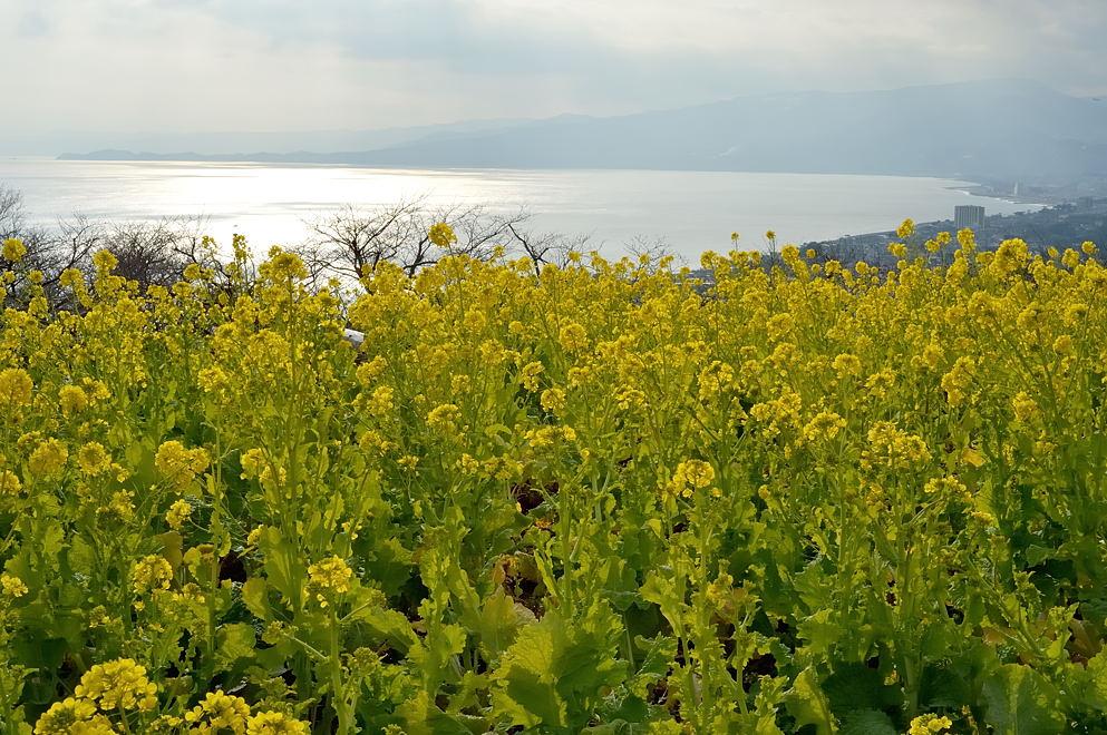 菜の花畑、相模湾