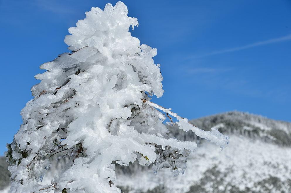 樹も雨氷に覆われています