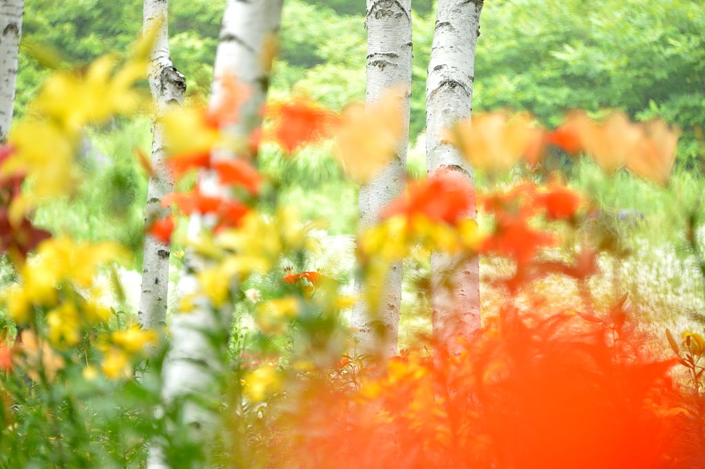 白樺林に咲く百合