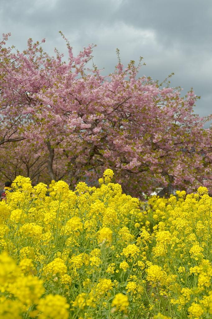 12:18 菜の花&河津桜