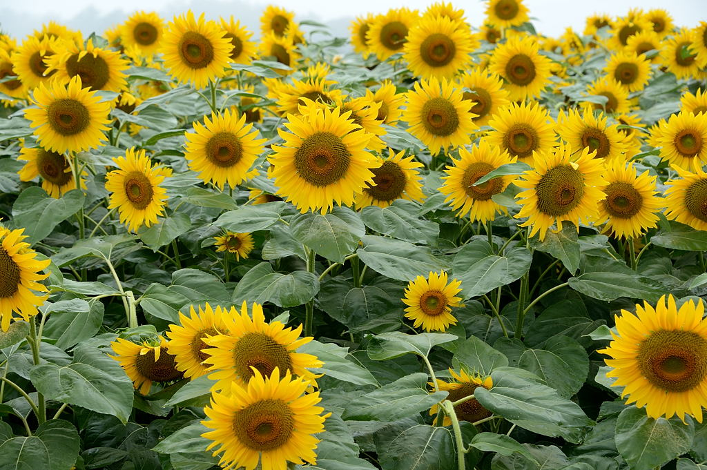 向日葵の群れ