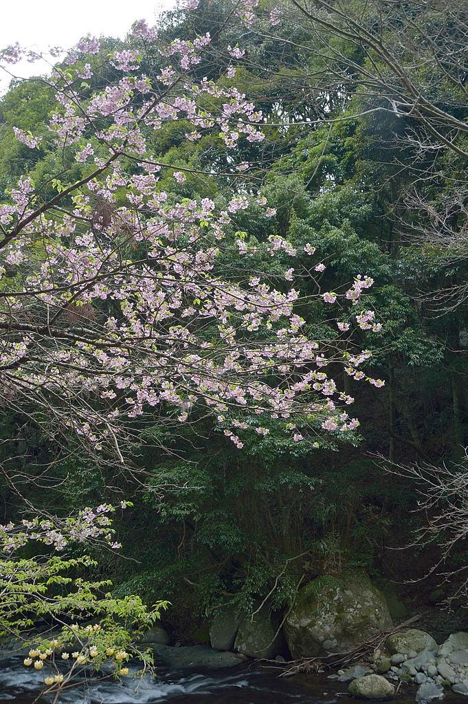 14:30 渓流沿いの河津桜