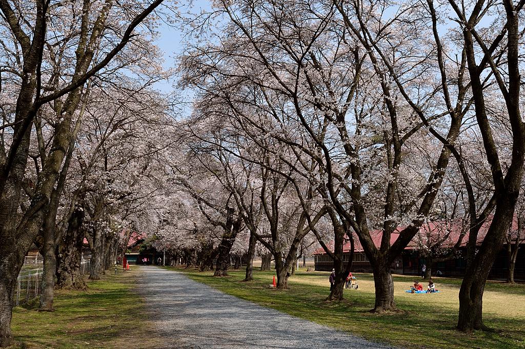 古木の桜並木
