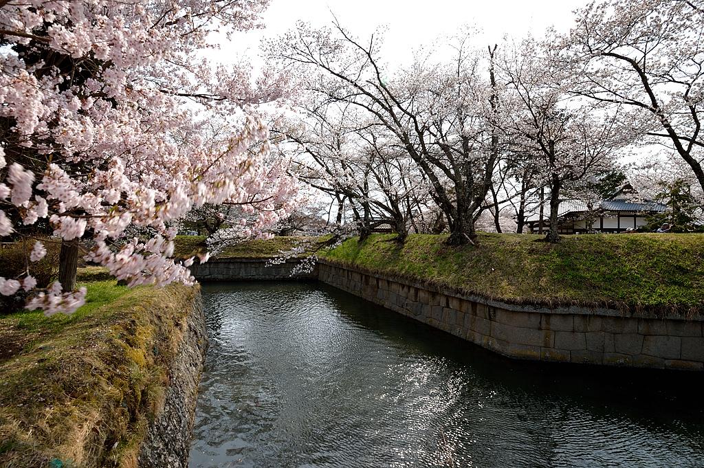堀沿いの桜