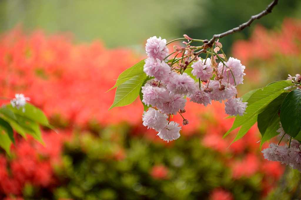 梅護寺数珠掛桜