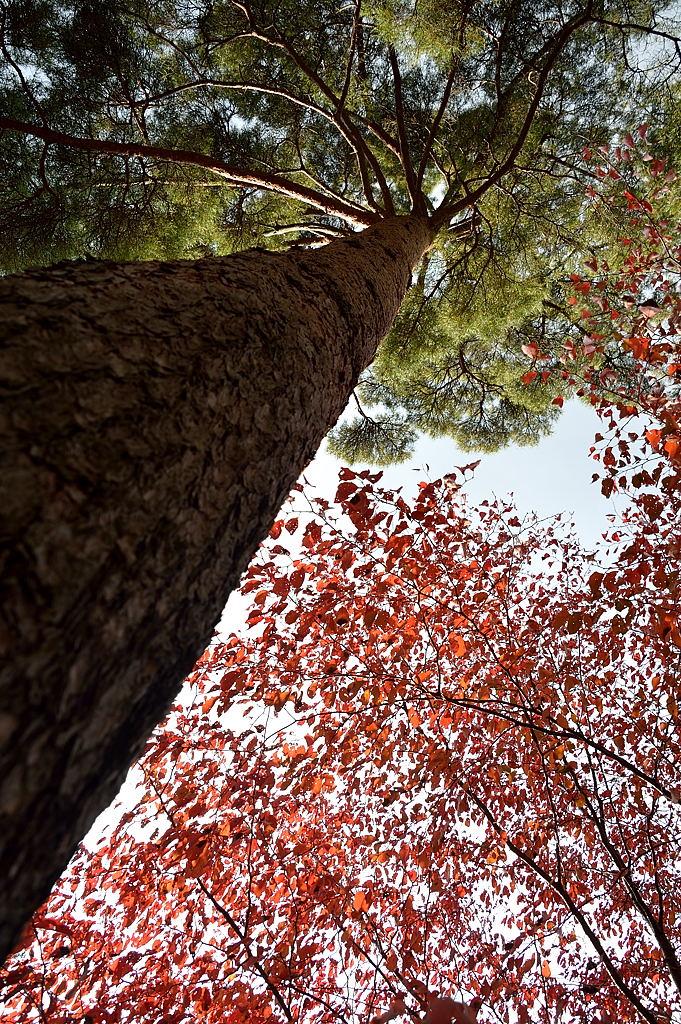 赤松と紅葉の樹