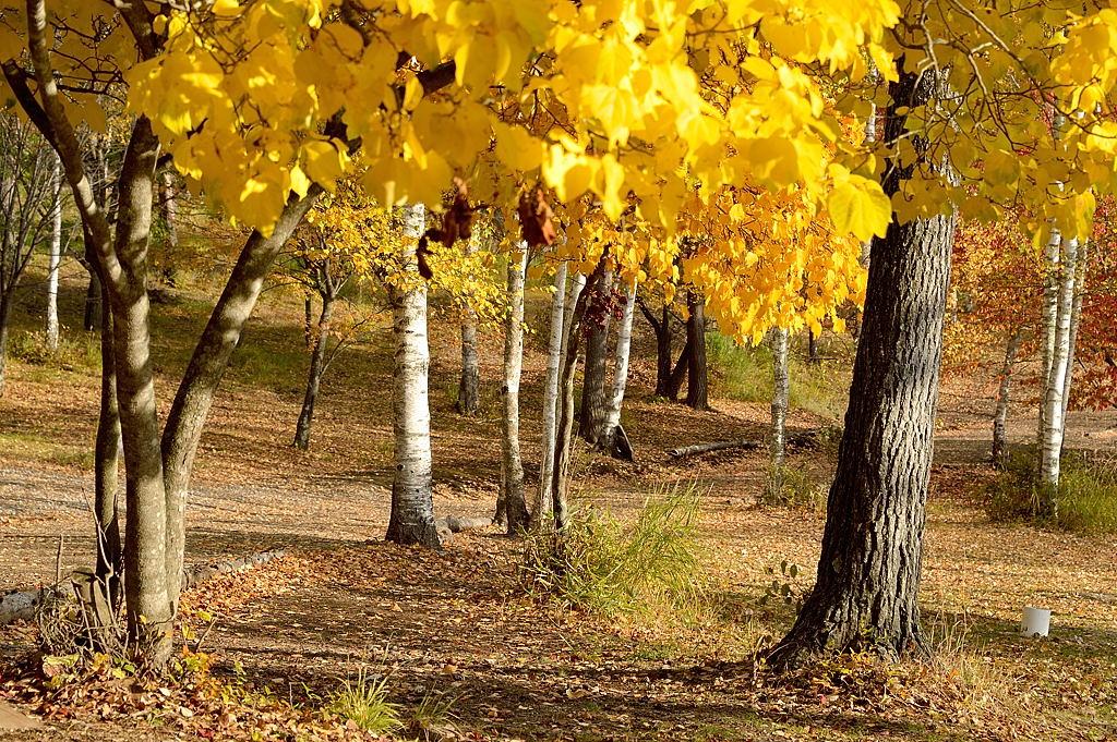 黄葉と白樺林
