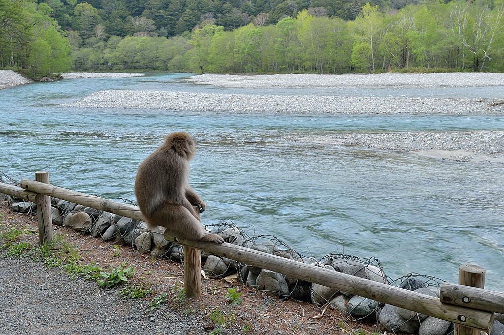 【16:03】梓川を眺める猿