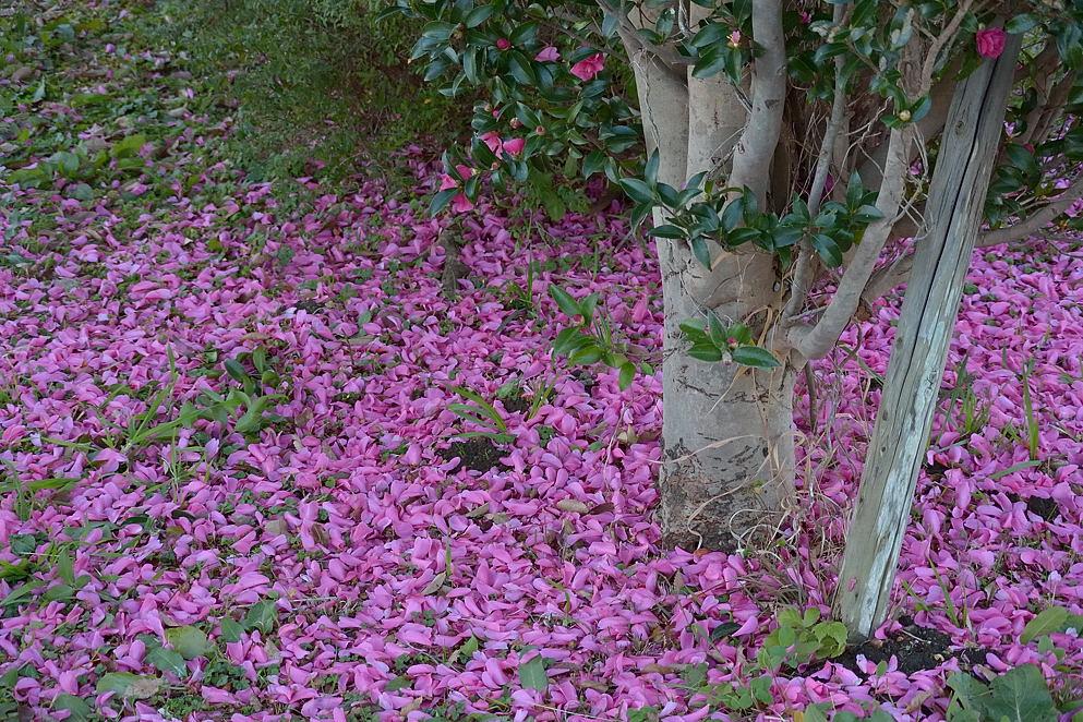 山茶花の絨毯