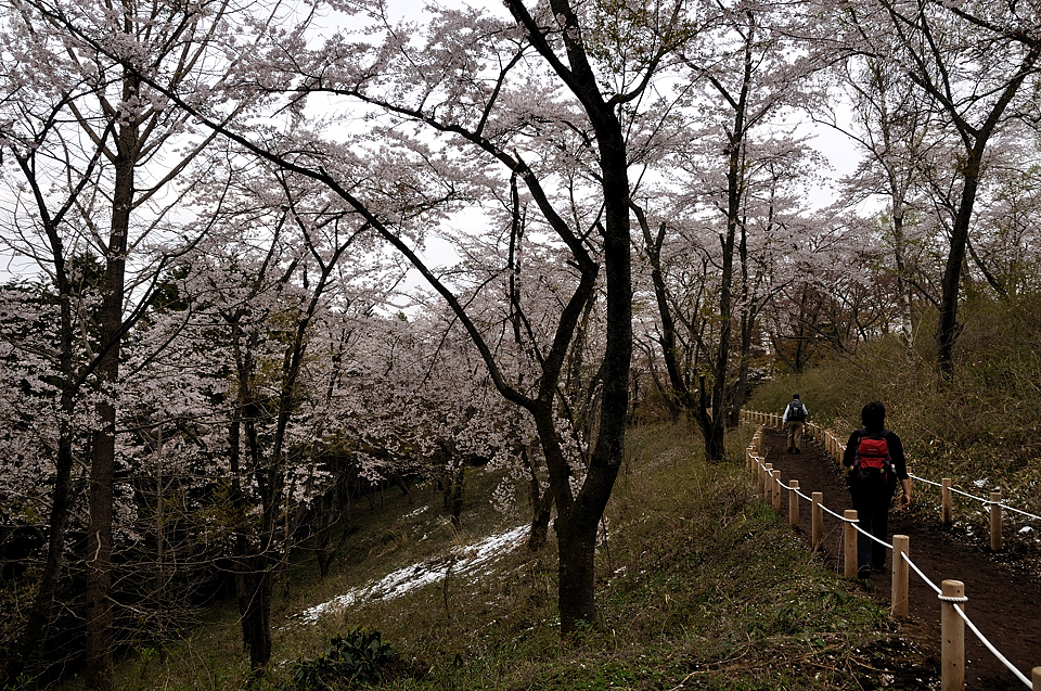 一丁平の桜