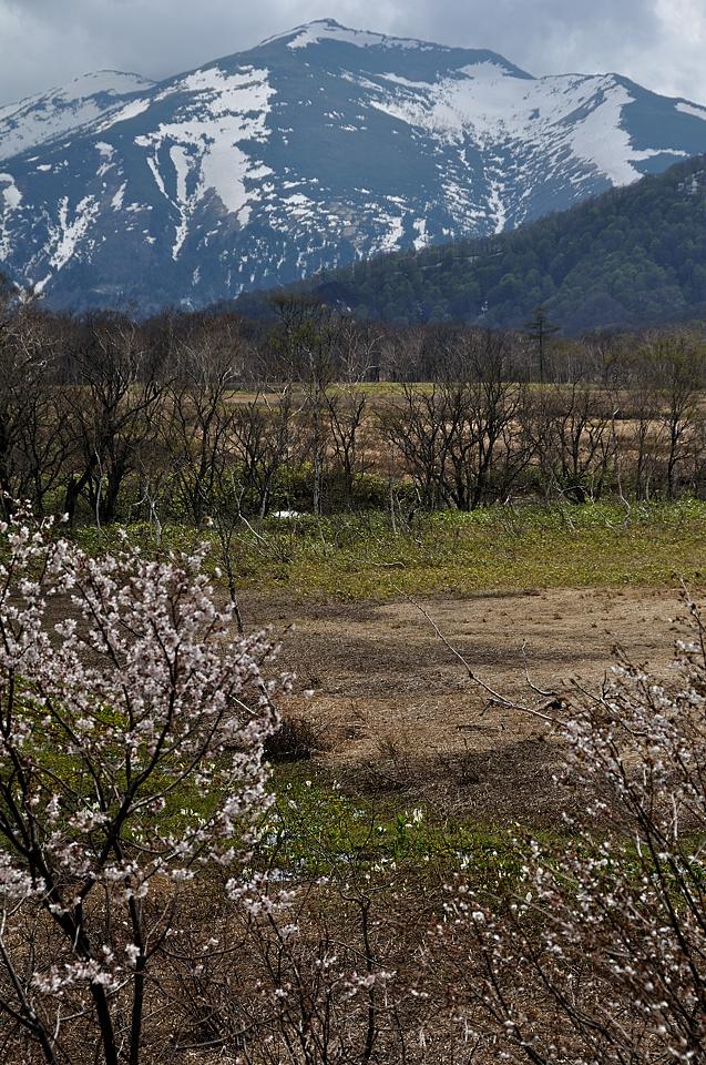 ミネザクラと至仏山