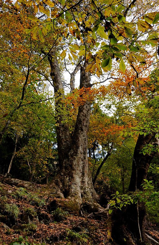 けやきの巨樹