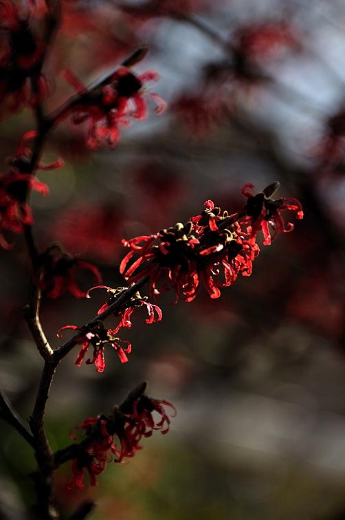 紅花の満作