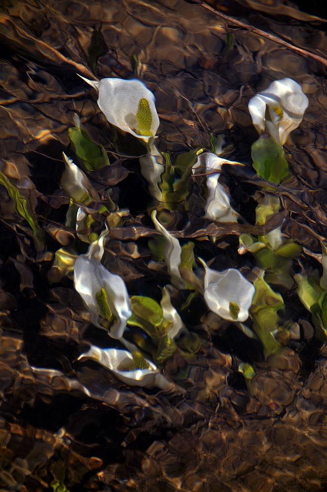水中に咲くミズバショウ