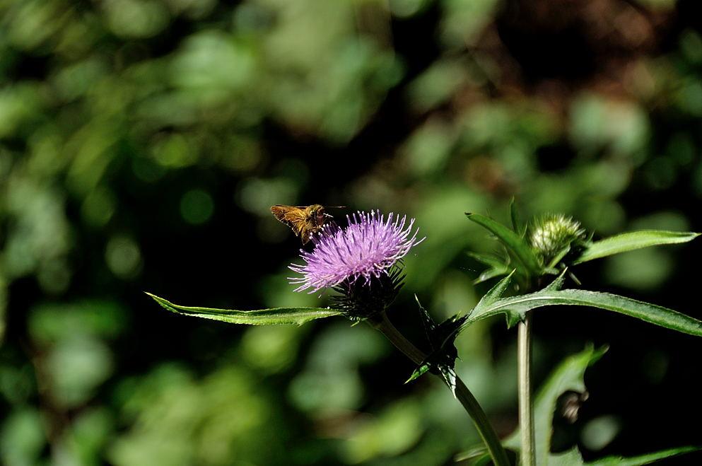 アザミ&セセリ蝶
