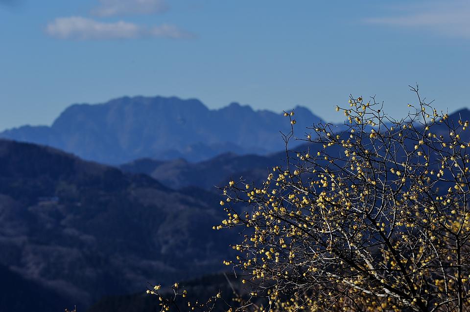 両神山と臘梅