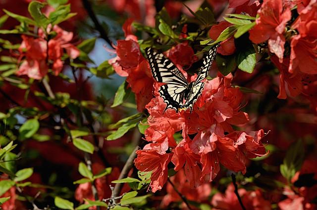 ツツジと蝶