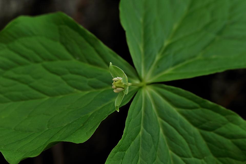 緑の花のエンレイソウ
