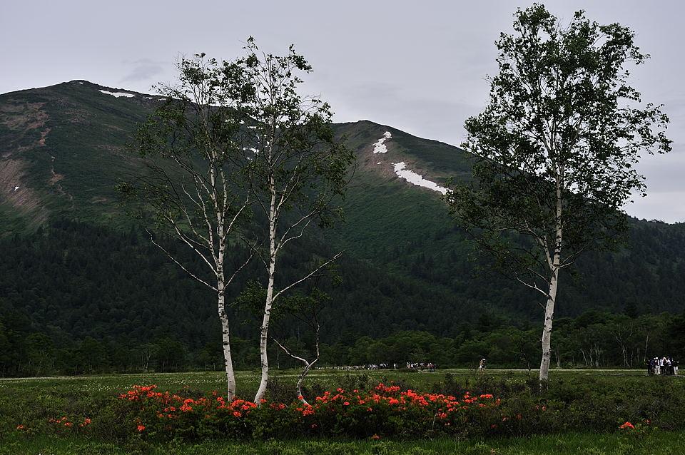 レンゲツツジ、白樺