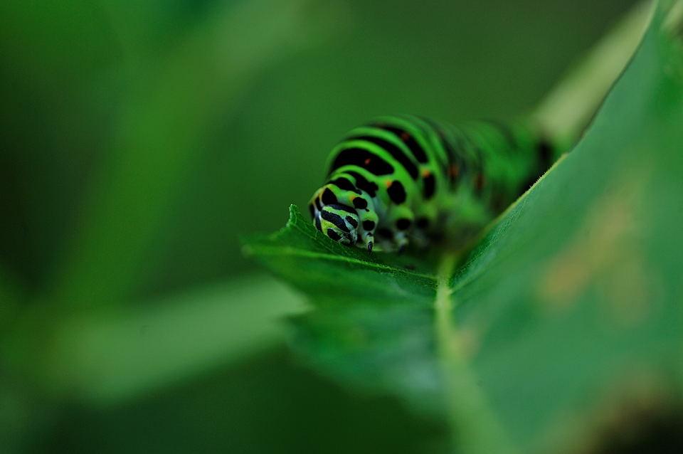 食用旺盛なキアゲハの幼虫