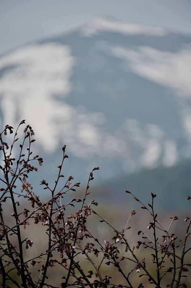 咲き始めのミネザクラ(バックは至仏山)