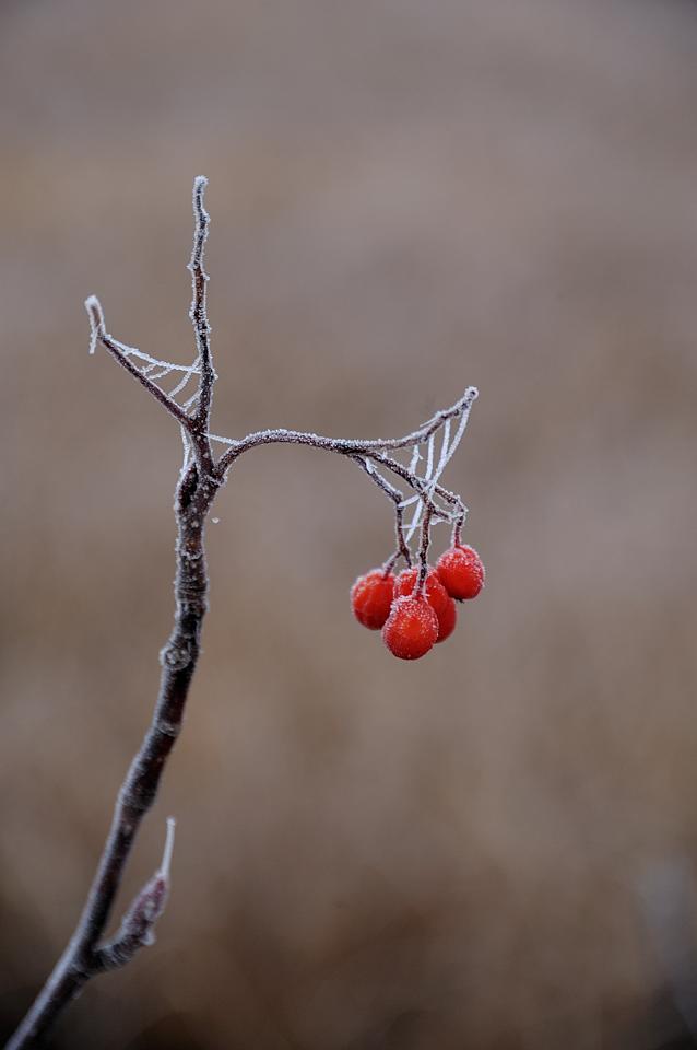 霜が付いたナナカマドの実