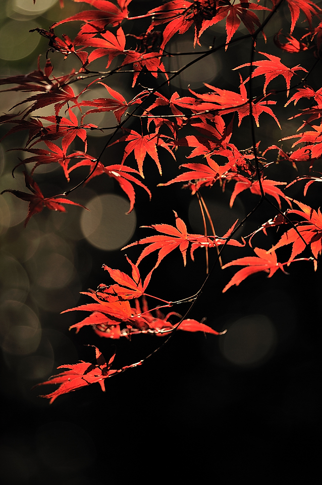 西日に浮かぶ紅葉