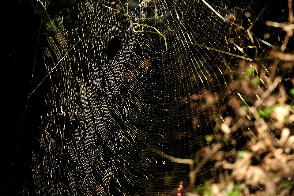 金色に光る蜘蛛の巣