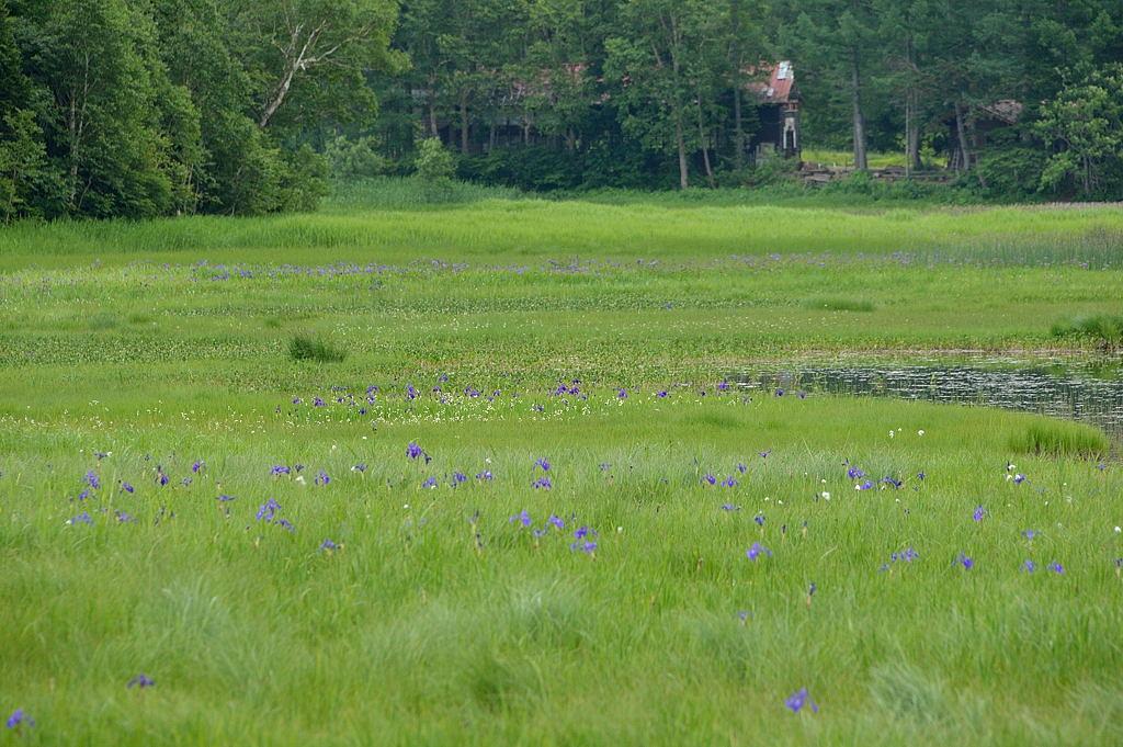 浅湖湿原のヒオウギアヤメ
