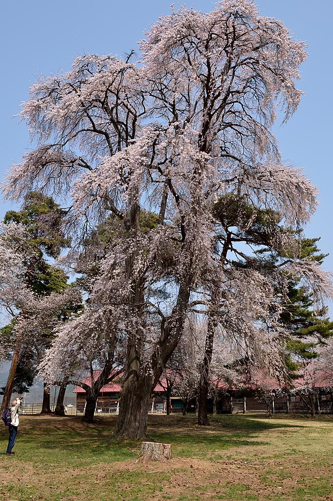 高さが15m以上あるシダレ桜